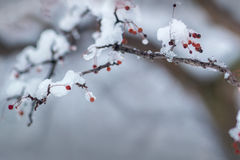 Snow covered branch in winter. A holly branch with a few berries, covered in winter snow Royalty Free Stock Images