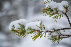 Snow-Covered Branch With Needles Close-Up Stock Photography