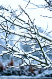 Snow covered branches Stock Photography