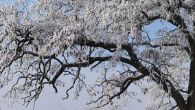 Snow-covered Branches of Acacia Tree. Against a sunny blue sky. Winter Time stock footage