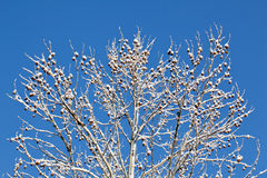 Free Snow Covered Branches Against Blue Sky Royalty Free Stock Photo - 22776385