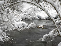 Snow covered branches along a creek Royalty Free Stock Image