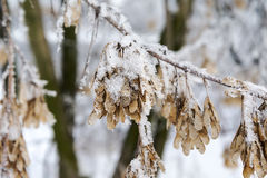 Snow-covered branches. Snow-covered branches in a beautiful forest Stock Images
