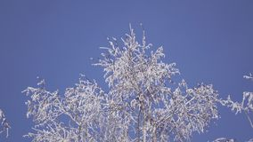 Snow-covered branches from below stock footage