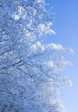 Snow covered branches blue sky Stock Photography