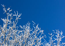 Snow covered branches on blue sky Stock Image