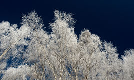 Snow covered branches on blue sky. In winter Stock Photos