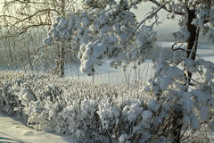 Snow-covered branches and bushes on background of a winter river.  Royalty Free Stock Photography