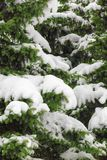 Snow-covered branches of Christmas tree. Snow-covered Christmas tree branches in winter forest Stock Photography