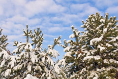 Snow-covered branches of coniferous trees against the blue sky Stock Photo