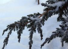 Branch of the Cossack juniper winter frosty morning in the snow. Snow-covered branches of the Cossack juniper on a cold winter morning Royalty Free Stock Images