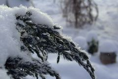 Branch of the Cossack juniper winter frosty morning in the snow. Snow-covered branches of the Cossack juniper on a cold winter morning Stock Photos