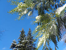 Snow-covered branches of mimosa against blue sky. Snow on the blooming mimosa tree Royalty Free Stock Images