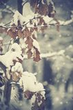 Snow-covered branches of an oak with faded leaves Stock Photo