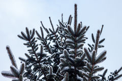 Snow covered branches on pine Stock Image