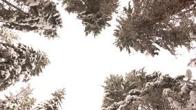 Snow-Covered Branches of Pine Trees in the Winter Forest. View from Below up to the Snow-Covered Branches of Pine Trees in the Winter Forest in the Mountains stock video footage