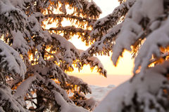 Snow-covered branches in the rays of the rising sun Royalty Free Stock Photography