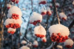 Red berries of mountain ash under the snow. Snow-covered branches of red mountain ash on a cold winter day stock images