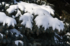 Snow covered branches of a spruce tree in winter Stock Images