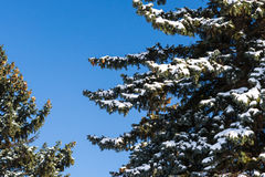 Snow covered branches of a spruce tree in winter Stock Photography