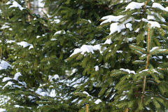 Snow covered branches of a spruce tree in winter Stock Photo