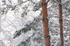 Snow-covered branches of tall pine with light trunk. Winter in the forest. Snow-covered branches of high pine. In the foreground the trunk with a light brown Stock Photo