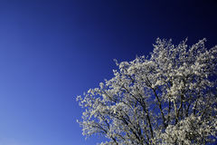 Snow Covered Branches of a Tree. On a cold winter day. They are set against a deep blue sky Stock Photo