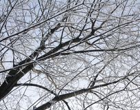 Snow-covered branches of a tree without leaves on a sky background. Snow-covered branches of a tree without leaves against the sky with a frosty winter day Royalty Free Stock Photography