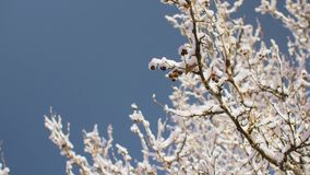 Snow-covered branches of tree in winter against blue sky stock footage