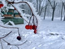 Viburnum red berries Snow covered branches of tree in the winter forest stock photo