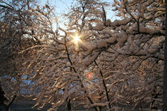 Snow-covered branches of trees. In winter Royalty Free Stock Image