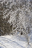 Snow covered branches of trees and bushes on a sunny day Royalty Free Stock Photo