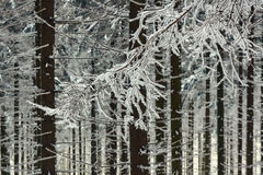 Snow-covered branches of trees Stock Photo