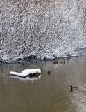 Snow covered branches of the trees reflected in the stream. Ducks swim in the winter stream at the snow-covered trees Royalty Free Stock Photo