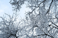 Snow-covered branches of trees Stock Images