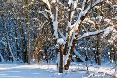 Snow covered leafless trees in winter forest. Snow covered branches and trunks of trees of deciduary forest. Joy and beauty of cold winter season. Merry Royalty Free Stock Photo
