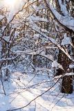 Snow covered leafless trees in winter forest. Snow covered branches and trunks of trees of deciduary forest. Joy and beauty of cold winter season. Merry Royalty Free Stock Images