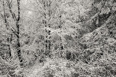 Snow covered branches Stock Photos