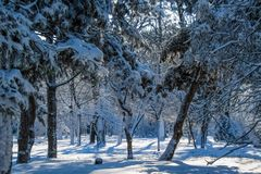 Snow-covered branches in the winter park. royalty free stock images