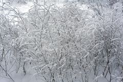 Snow-covered branches in winter snow branches ranches.  Stock Images