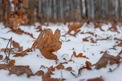 Snow-covered brown dry oak leaves against the background of tree stock photo