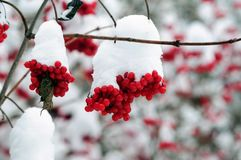 Snow-covered bunches of red viburnum berries in the winter garden stock photos