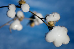 Snow Covered Burs Stock Photo