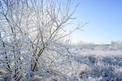 Snow covered bush  in back light in a beautiful winter landscape under a blue sky, copy space royalty free stock image