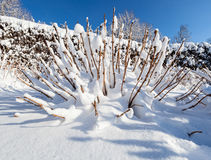 Snow covered bush in front of blue sky Stock Photo