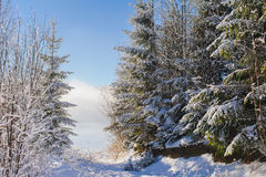 Snow covered bush in winter mountains. Snow covered trees and bushes with snow. The mountain trail is covered with a variety of footprints in the snow. Sky Stock Image