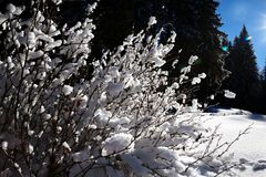 Snow-covered bush in winter spruce forest after snowfall Stock Images