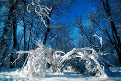 Snow covered bushes and branches on blue sky background. With thick snow level at low temperature in the park with the sun pointing from a low level in the Stock Photos