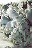 Snow covered bushes close up background.  Royalty Free Stock Photography