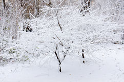 Snow-covered bushes Royalty Free Stock Photography